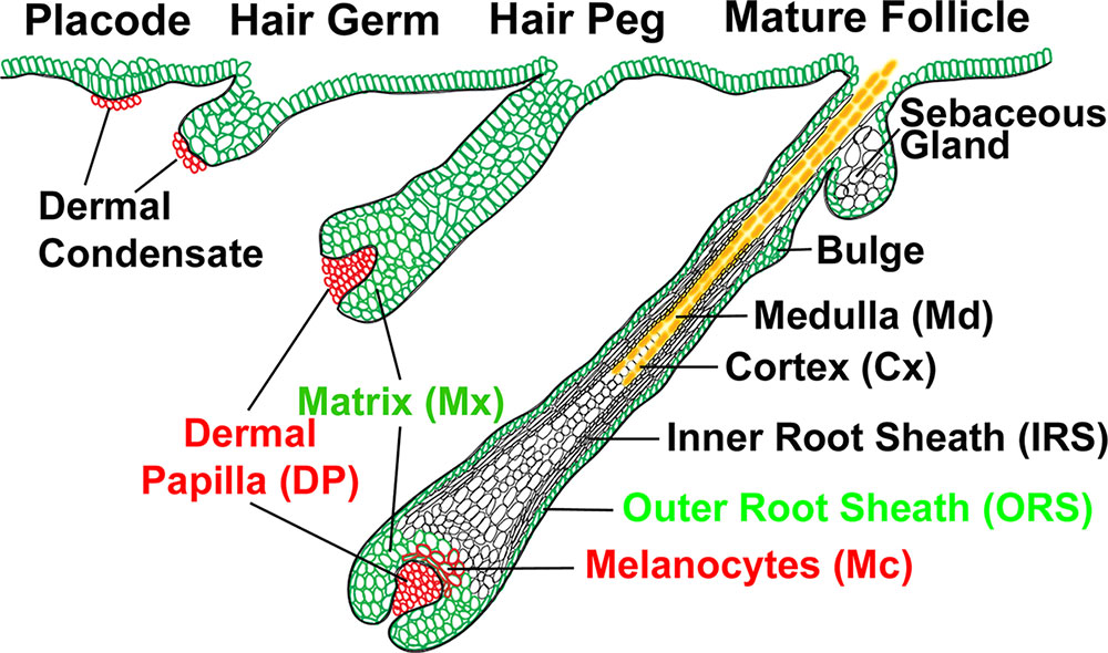Integumentary System - Hair Development - Embryology