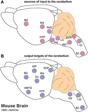 Mouse cerebellum connections 01.jpg