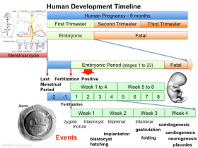 Human development timeline graph 01.jpg