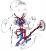 Fetal circulation 01 icon.jpg